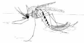 Kiểm Soát Muỗi Trưởng Thành